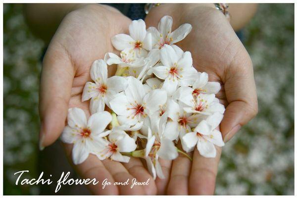 2008 大溪‧油桐花