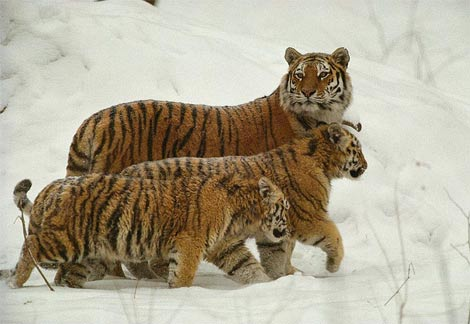 老虎和小虎.jpg