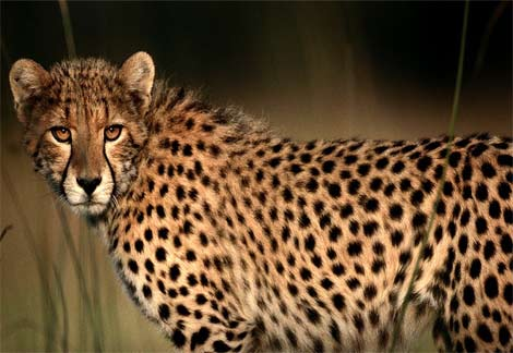 cheetah-closeup.jpg