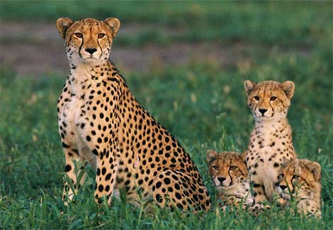 cheetah-cubs.jpg
