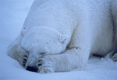 polar-bear-sleeping.jpg