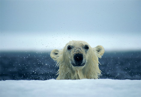 polar-bear-wet.jpg