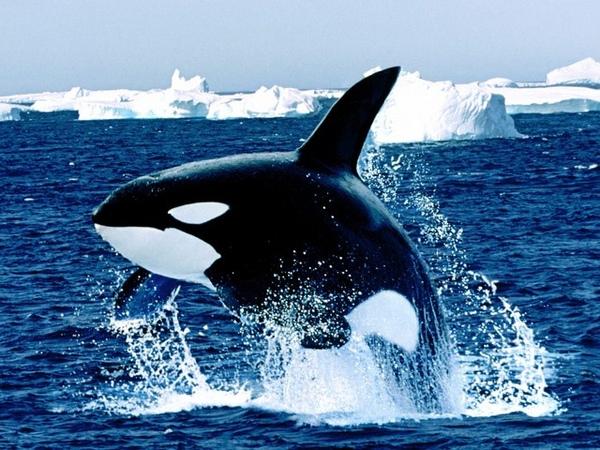 kliier whale