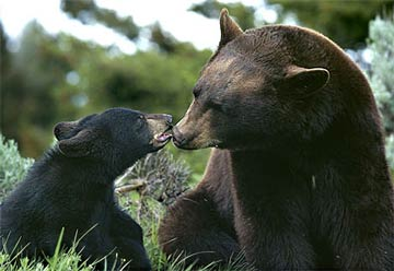 black bear mom and cub.