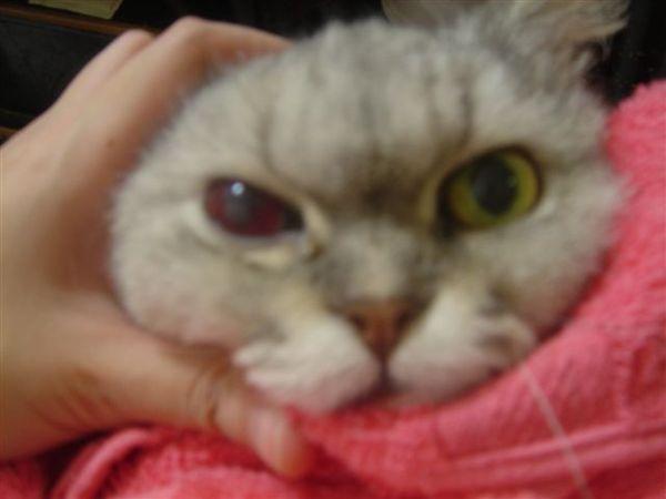 07.10.13 眼睛出血的大貓