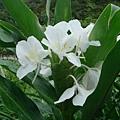 白野薑花-英國花