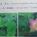 活力菜赤道櫻花