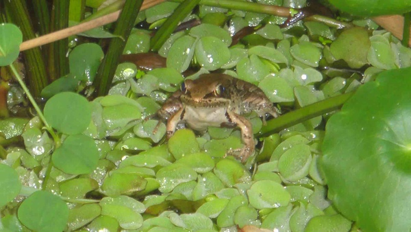 九寮坡-腹斑蛙