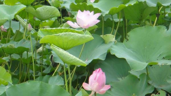 華山的蓮花