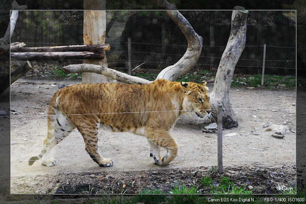 獅虎...