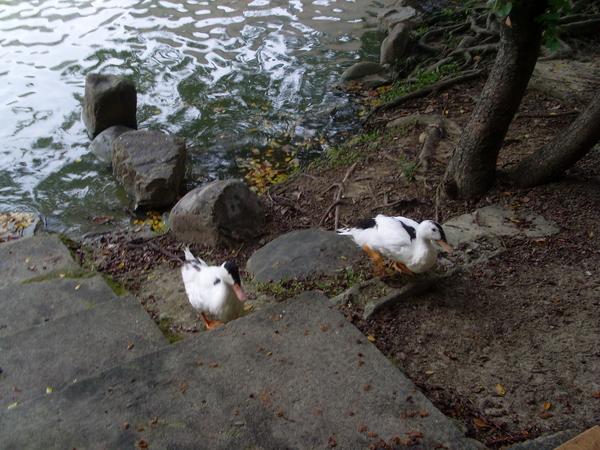 中興湖的鴨子