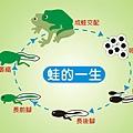 1442-6 荒野-蛙的一生