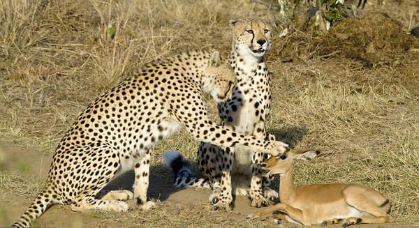 羚羊遇上豹1.jpg