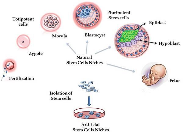 Human Blastocyst-derived Pluripotent Cell @ 察爾斯大夫 美麗殿堂 Dr