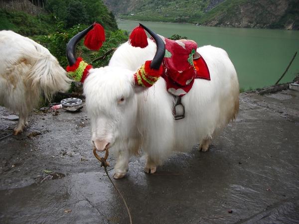 超可愛的牦牛