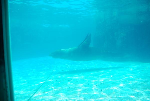 很好命的海獅