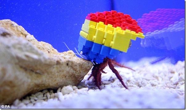 哈利寄居蟹-1