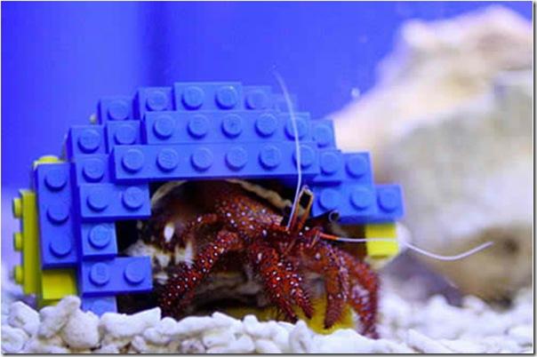 哈利寄居蟹-2