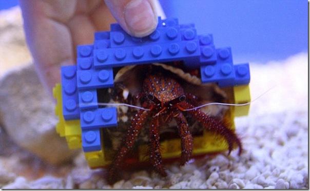 哈利寄居蟹-3
