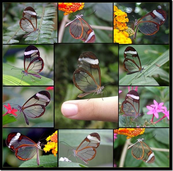 透明翅膀的蝴蝶-1