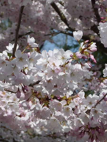 cherry blossom 19.JPG