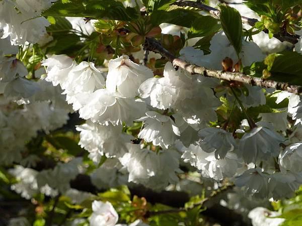 白色櫻花 234.JPG