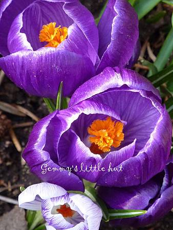 dark purple crocus.jpg