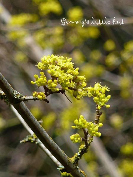 三月中Cornus Mas~Cornelian cherry.jpg