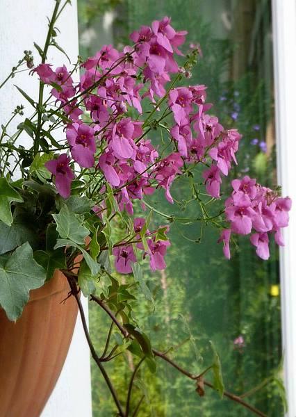 A garden in flower pots14.JPG