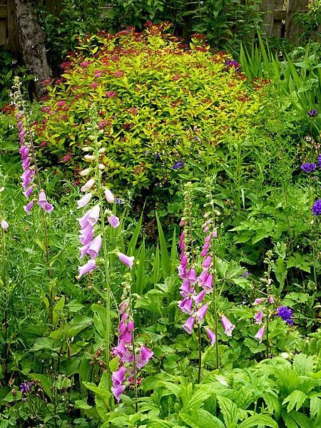 June garden 012.JPG