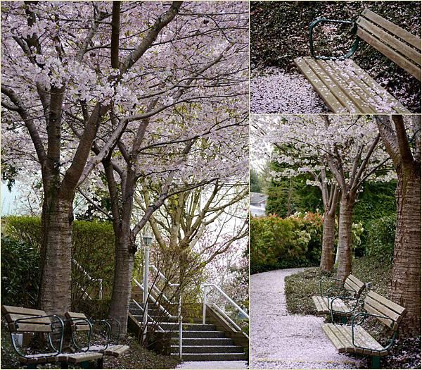 2012-04-17 四月吉野櫻