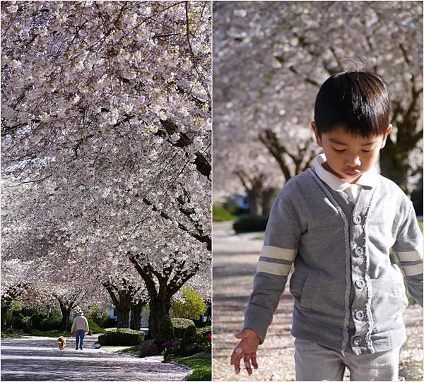 2013-04-11 吉野櫻1