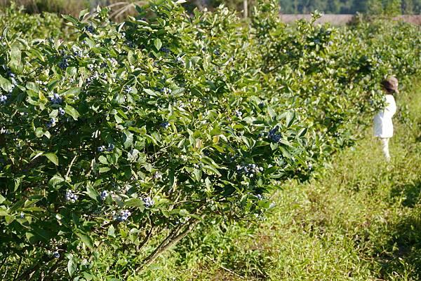 藍莓開口派 527