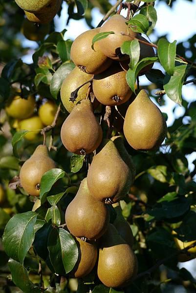 果樹 172