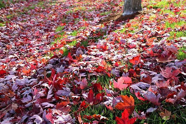 fallen leaves 042
