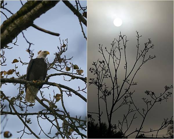 2013-11-01 fall Bald eagle