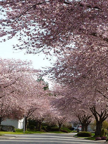 cherry blossom 9.JPG