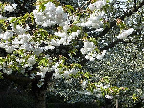 白色櫻花 123.JPG