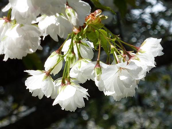 白色櫻花 121.JPG