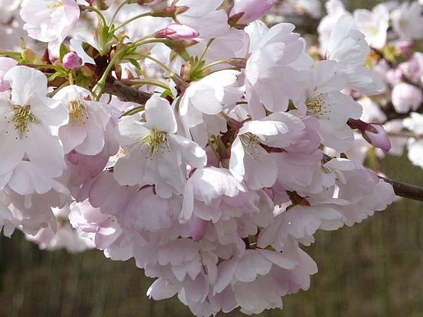 cherry blossom 14.JPG