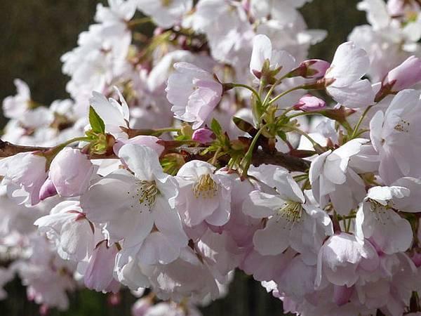 cherry blossom 15.JPG