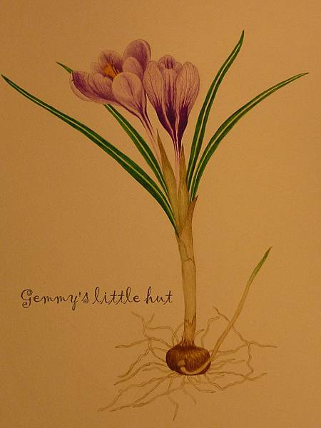 snow drop & crocus illustrations 002.JPG