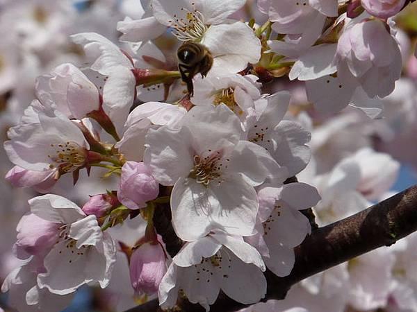 cherry blossom 24.JPG