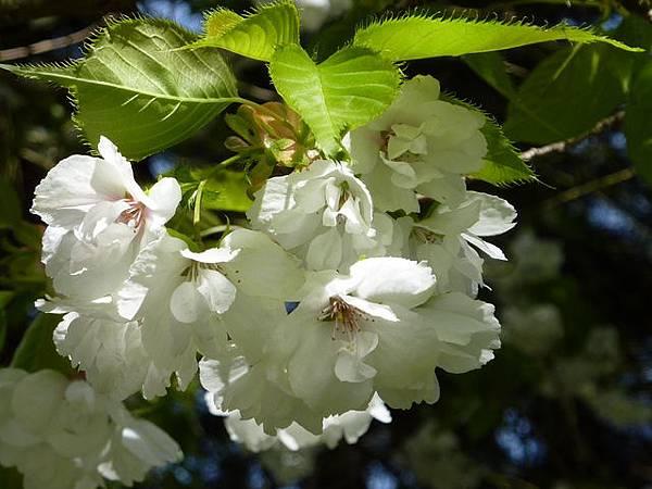 白色櫻花 139.JPG
