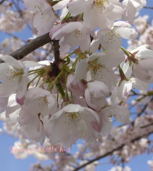 四月中 櫻花盛開2.jpg