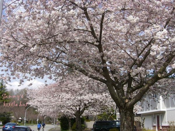 四月中櫻花盛開3.jpg