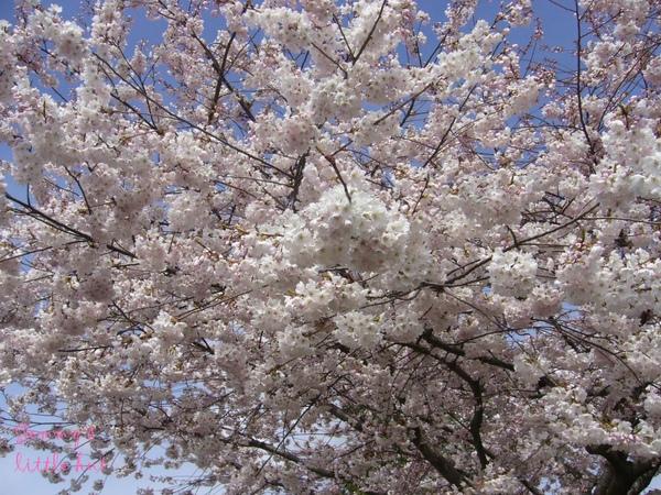 四月中櫻花盛開4.jpg