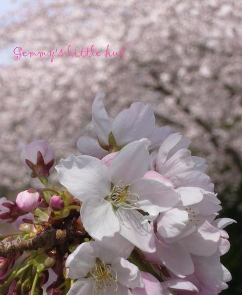 四月中櫻花盛開5.jpg