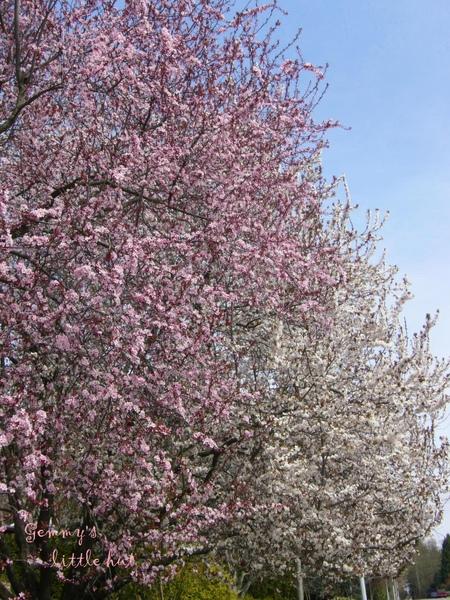 四月中櫻花盛開2.jpg