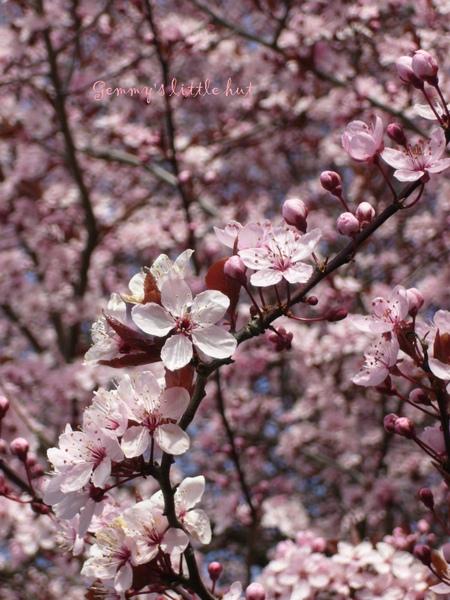 四月中櫻花盛開1.jpg